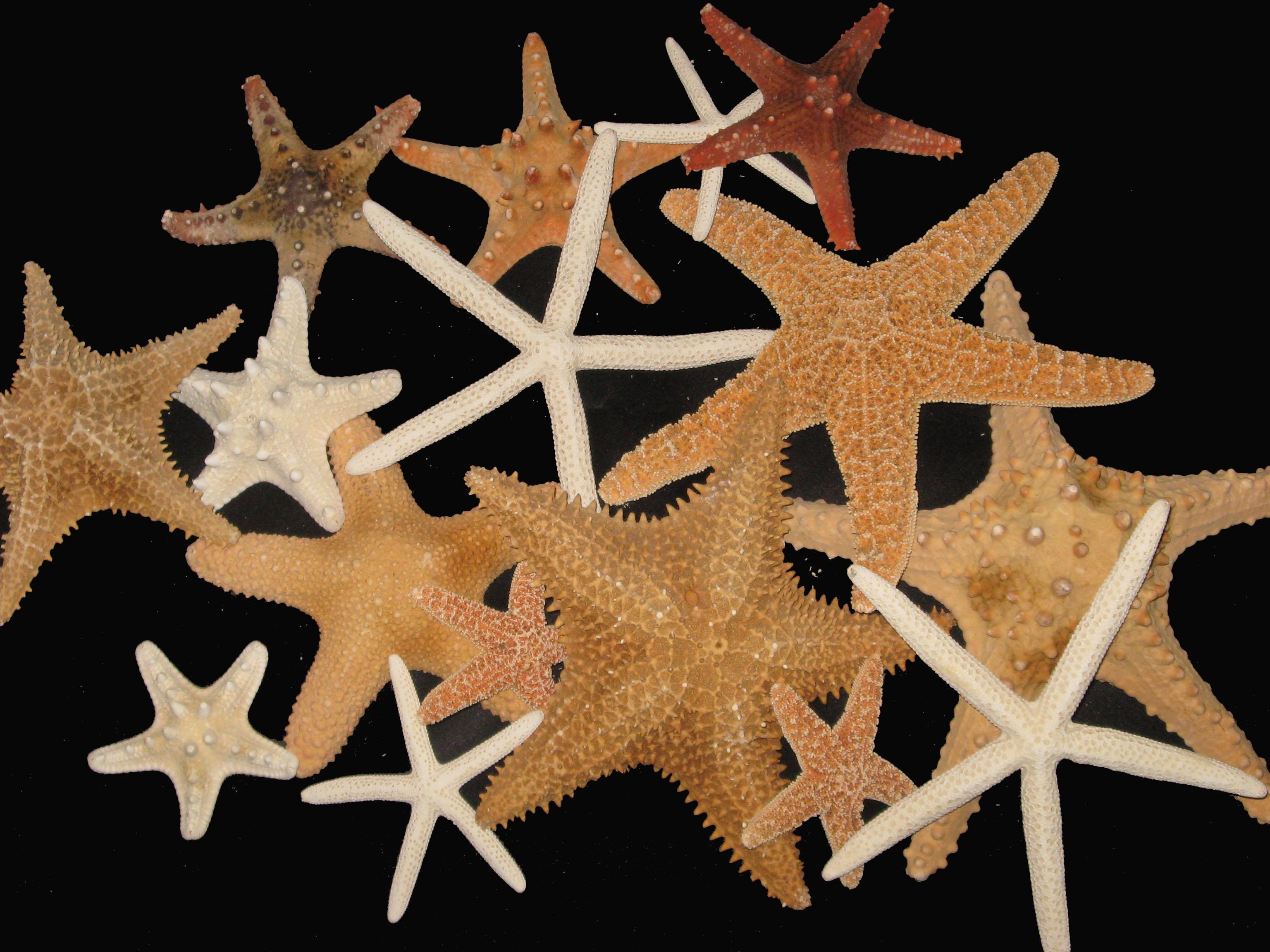 Bulk Starfish Decorations Wholesale Porcupine Sea Beans Sea Cookie Giant Barnacles More
